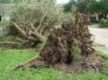 uprooted_tree